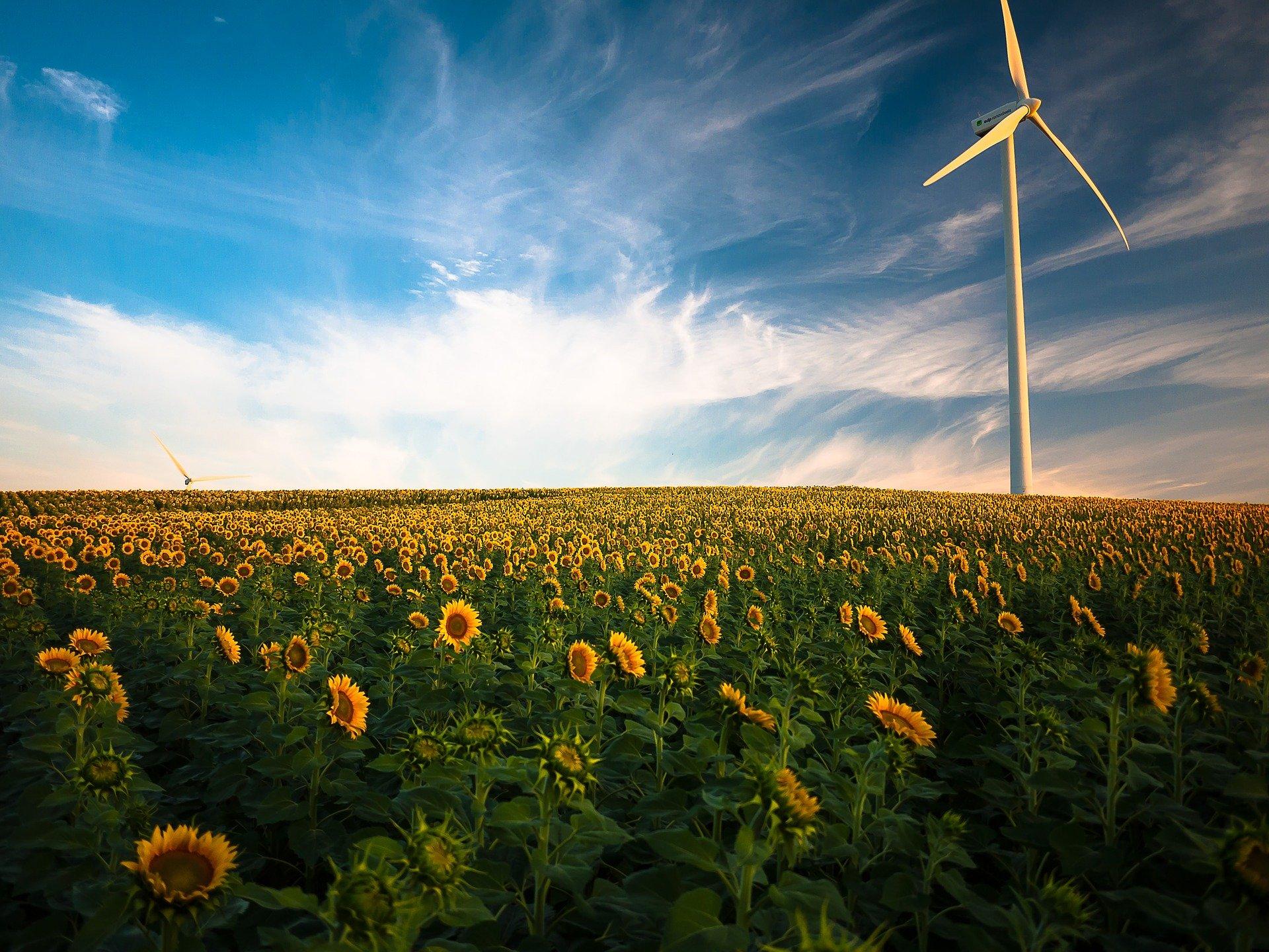 Windkraft Symbolbild Sonnenblumenfeld mit Windrad